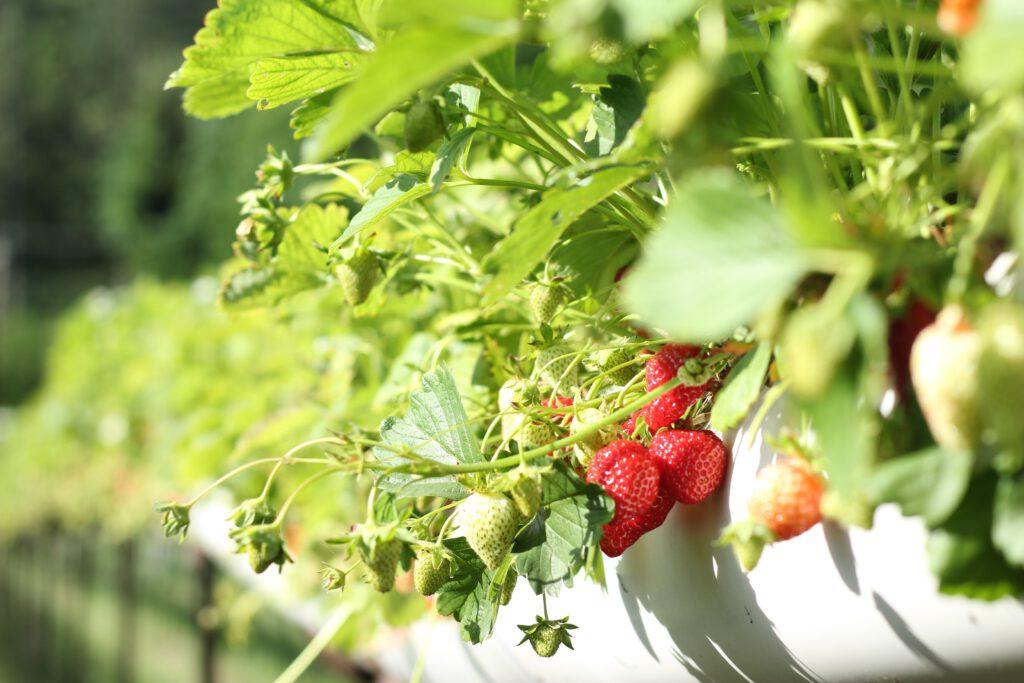 Aardbeienplanten kun je ook verticaal of in potten kweken