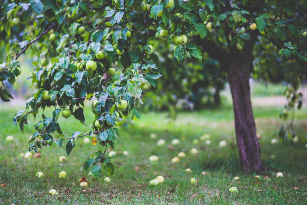 Fruitbomen zijn klimaatbestendig én geven oogst!