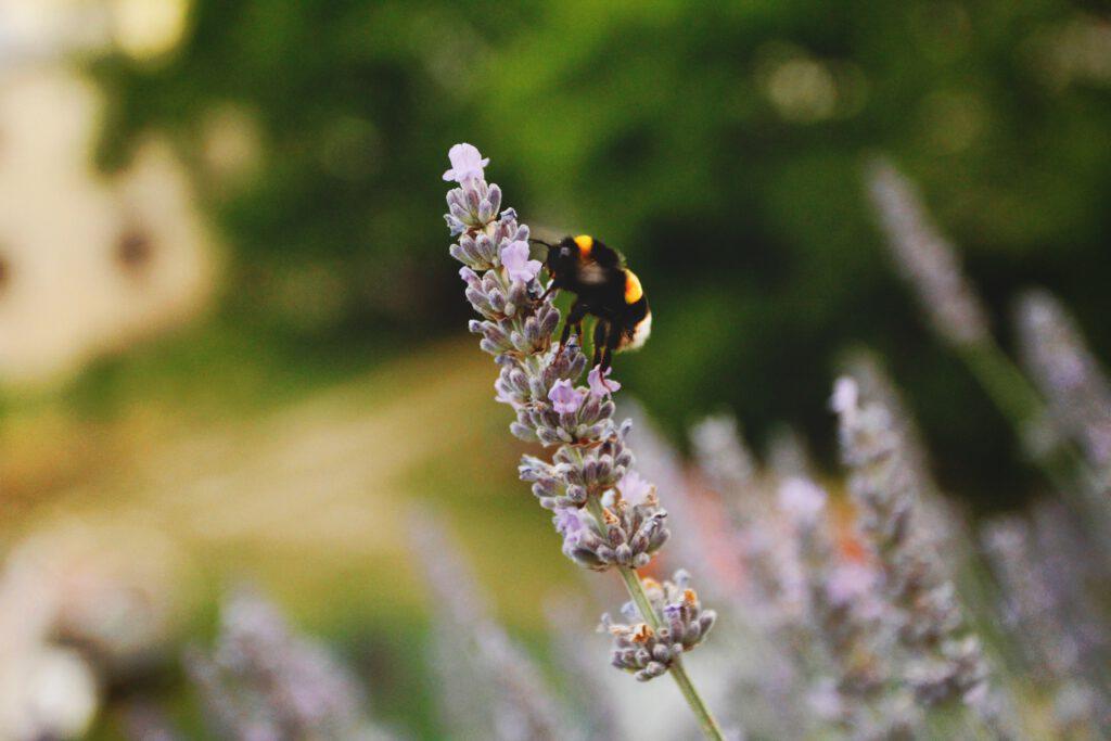 Bloemen als lavendel trekken veel insecten aan