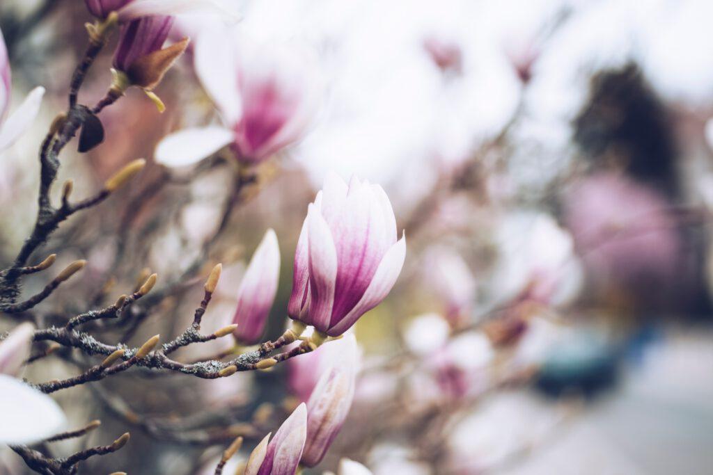 Magnolia geeft prachtige bloesem in het voorjaar