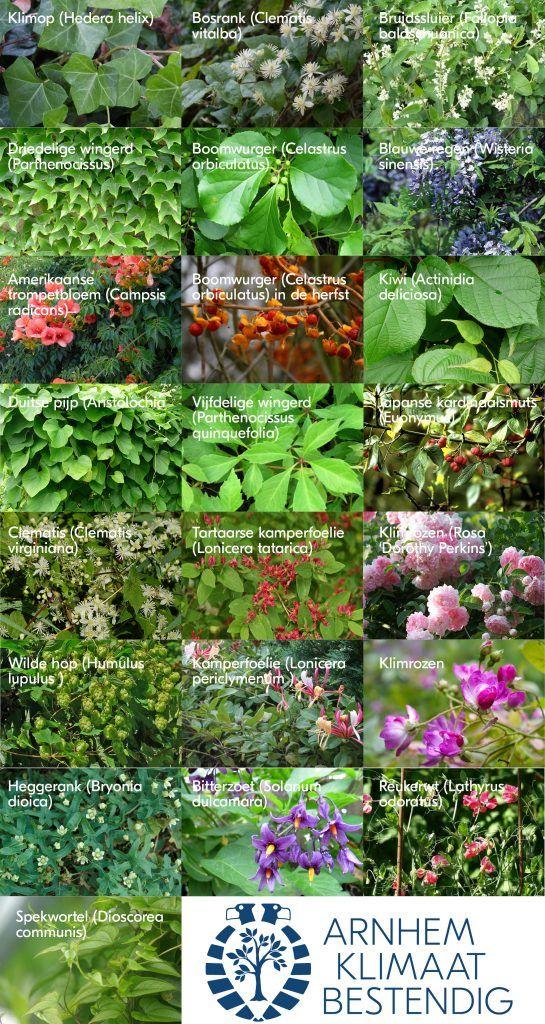 Er zijn veel verschillende soorten klimplanten