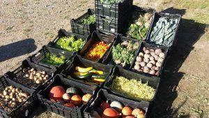 De helft van de oogst gaat naar de voedselbank